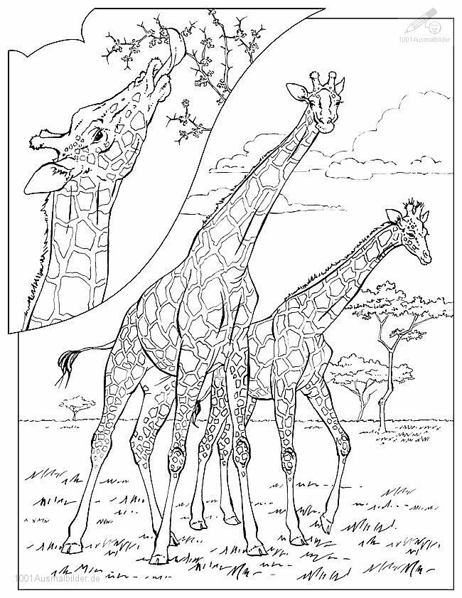 malvorlage: malvorlage-giraffe-14