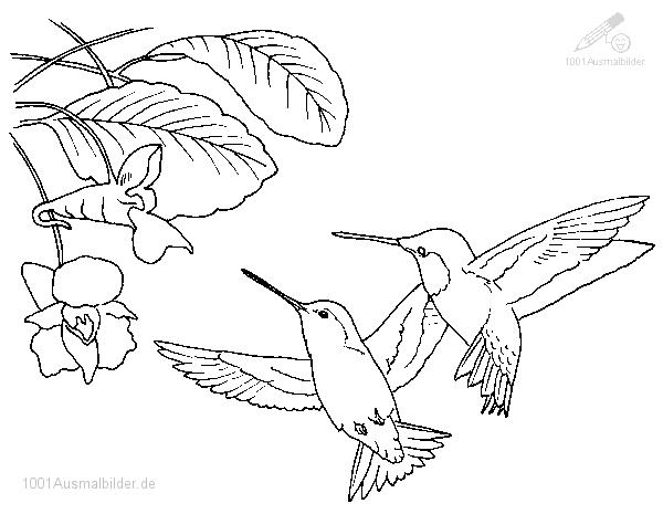 Malvorlage Kolibri