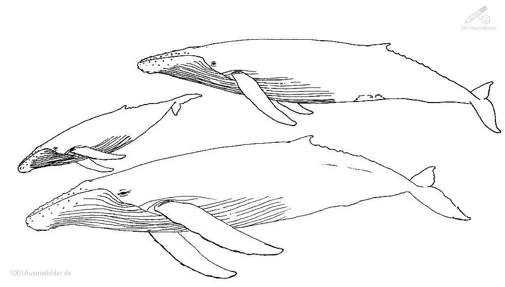 Malvorlage Wal
